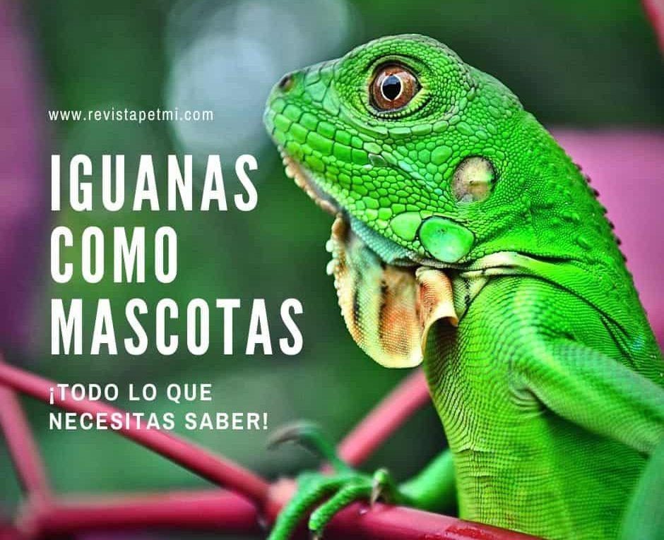 Iguanas como mascotas-min