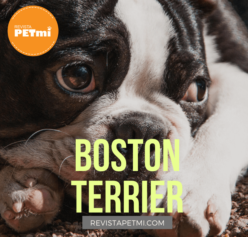 Boston Terrier (1)