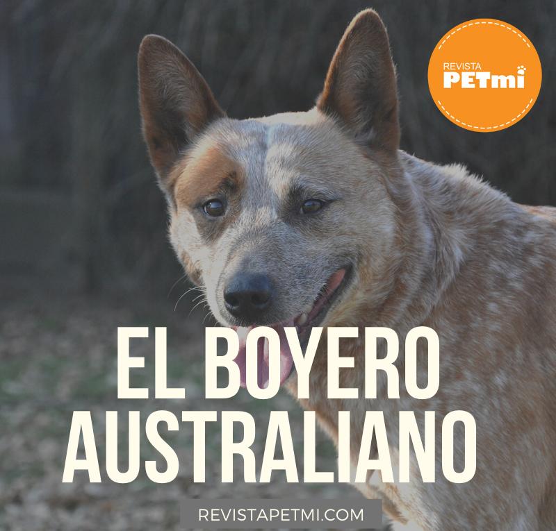 Boyero Australiano