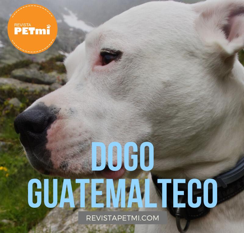 Dogo Guatemalteco (2)