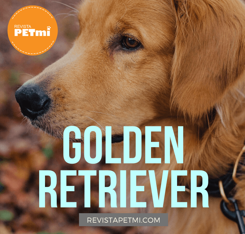 Golden Retriever (1)