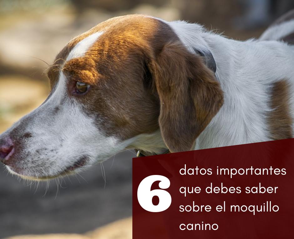 6 datos importantes que debes saber sobre el moquillo canino (2)