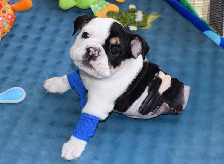 Bonsai, el Bulldog con tan solo dos patitas2
