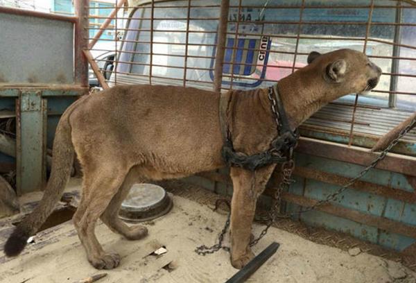 liberación de un puma