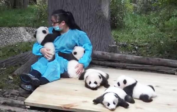 abrazar pandas