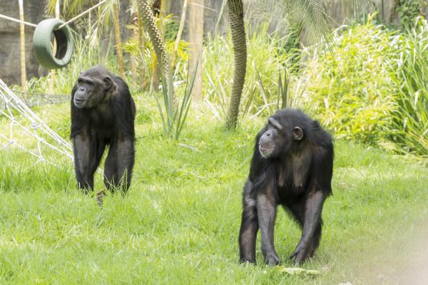 Chimpancé en Guatemala