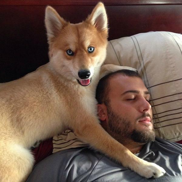 husky con pomerania