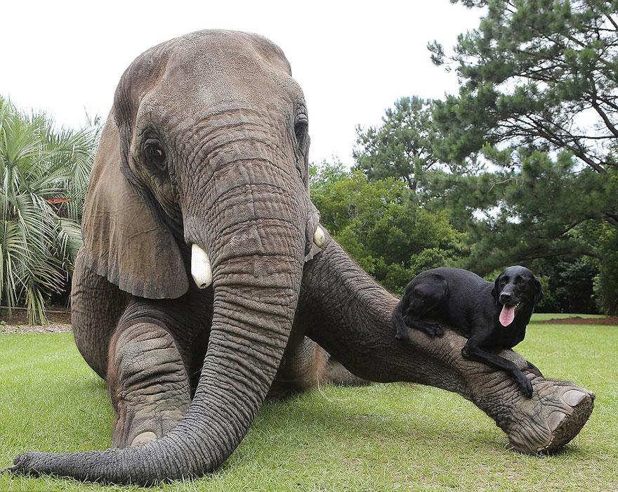 Bubbles Elefante y Bella labrador