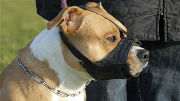Canadá genera controversia al tratar de prohibir perros de la raza pitbull