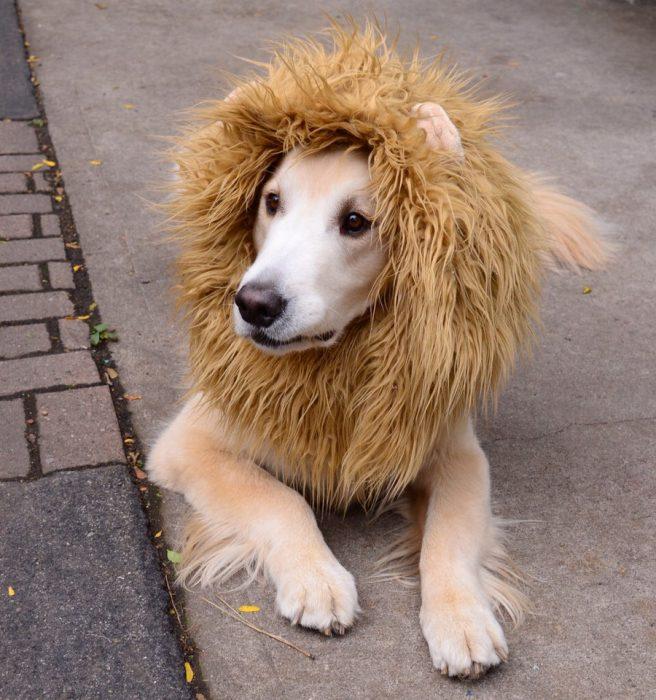 disfraces divertidos para mascotas que puedes hacer en casa-6