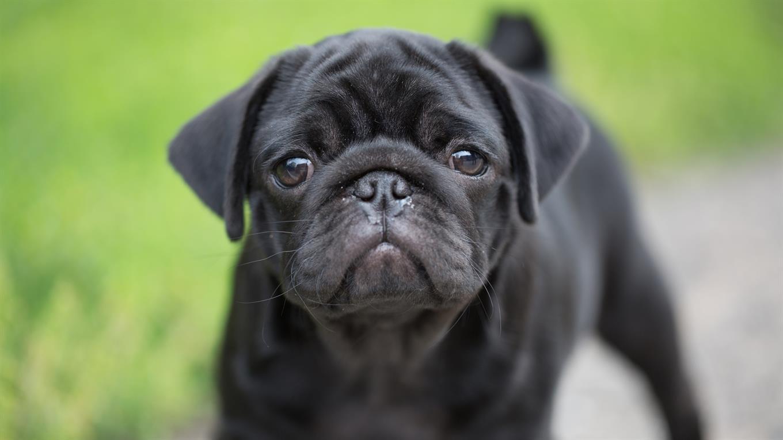Pug, perros de hocico chato