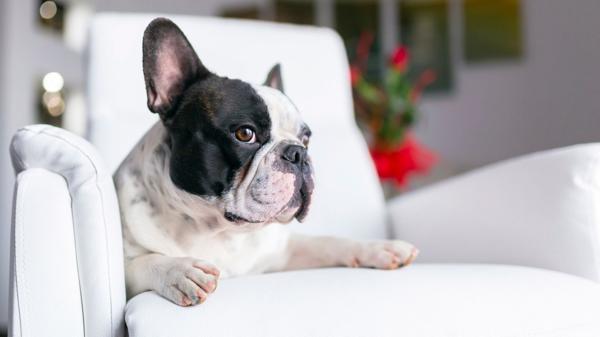 ¿Sabes qué observan los perros cuando ven televisión?