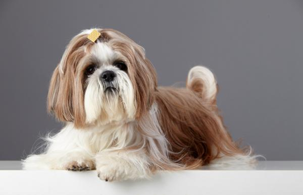 Shiitzu, Veterinarios alertan sobre los perros con hocico chato