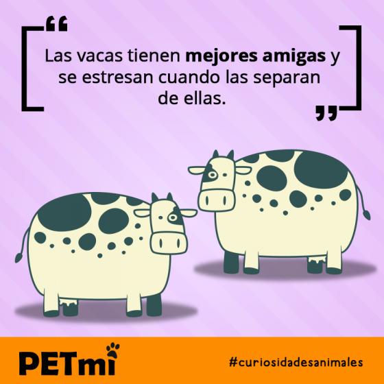 Las vacas tienen mejores amigas