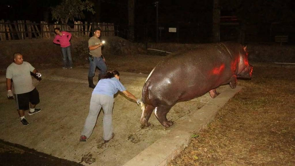 Hipopotamo Gustavito