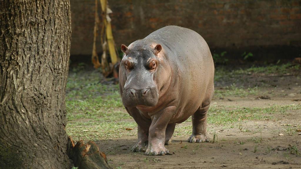 Gustavito Hipopótamo