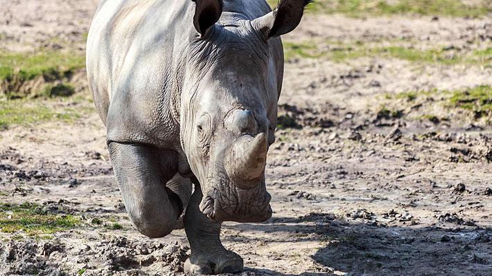 rinoceronte blanco 1