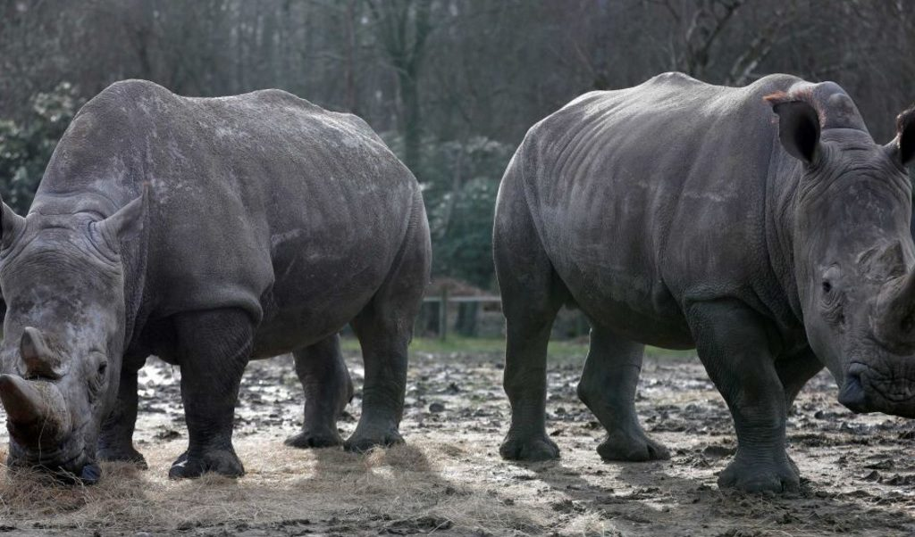 rinoceronte blanco 2