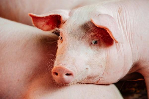 el corazón de un cerdo