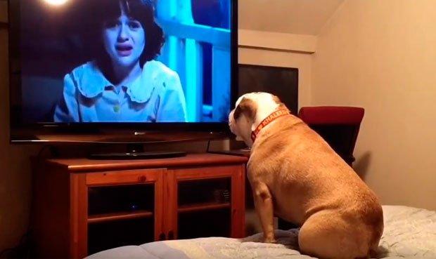 sorprendente reacción de una bulldog inglés