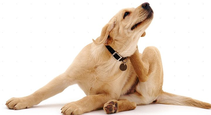 enfermedades de la piel en mascotas