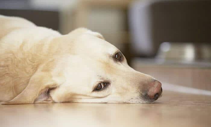 vómito en perros