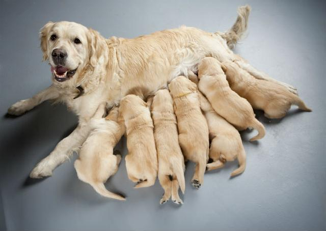 gestación en perras y gatas