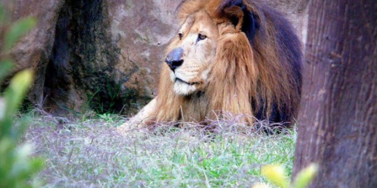 leono el rey de la selva 1