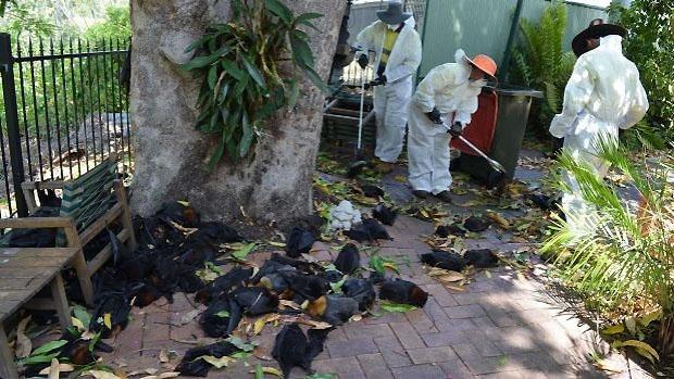 murciélagos están muriendo por calor