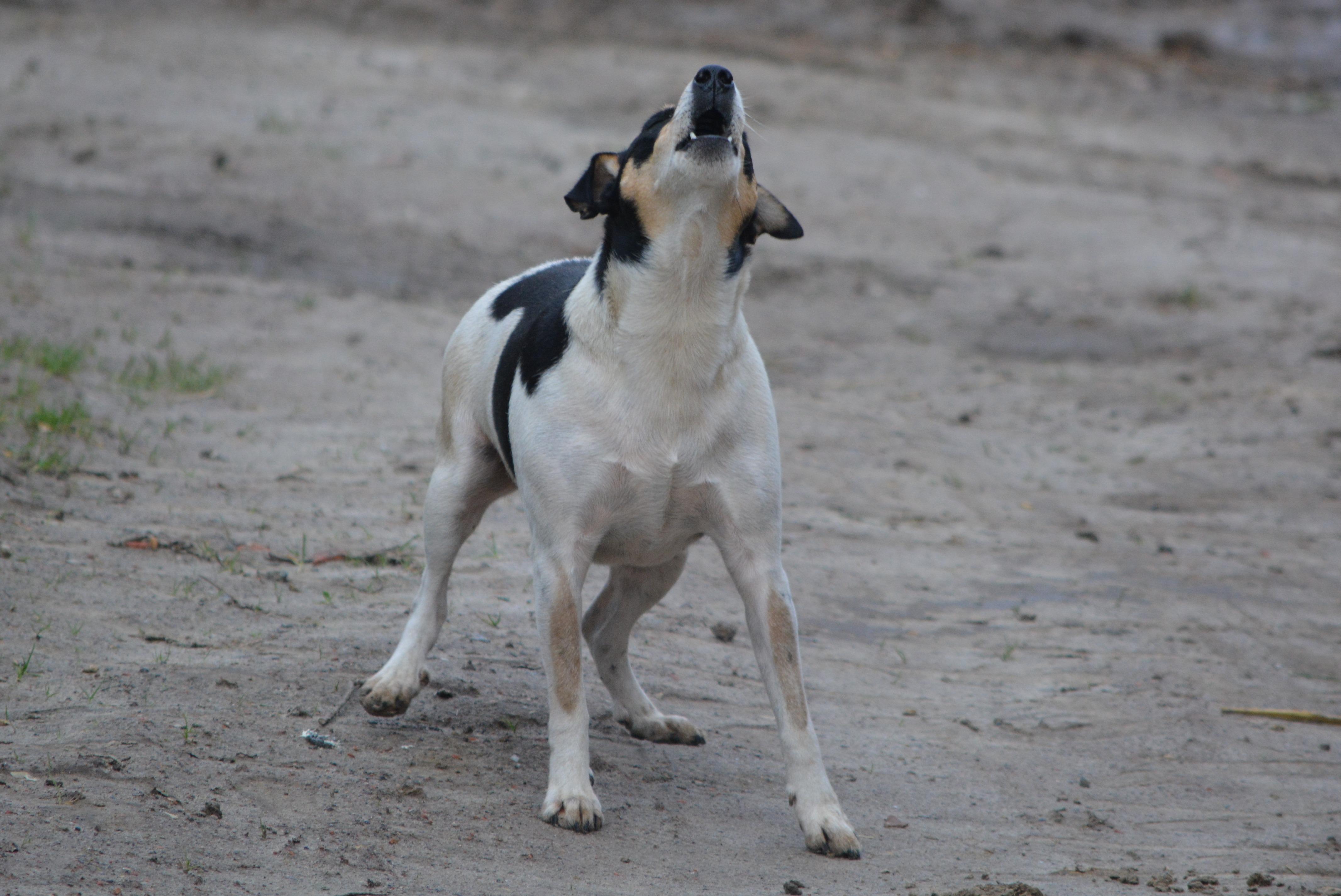 perro ladrando-revistaPETmi