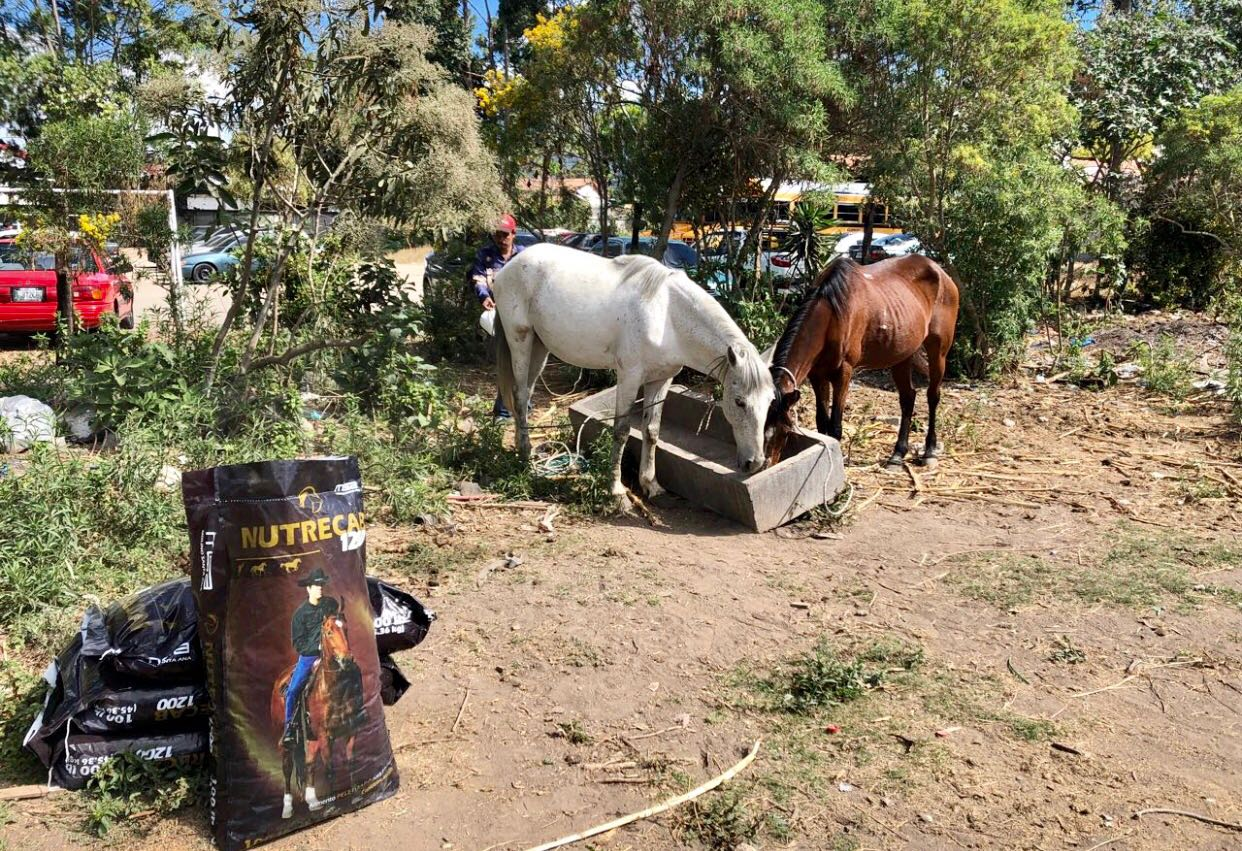 alimentar caballos en Antigua Guatemala