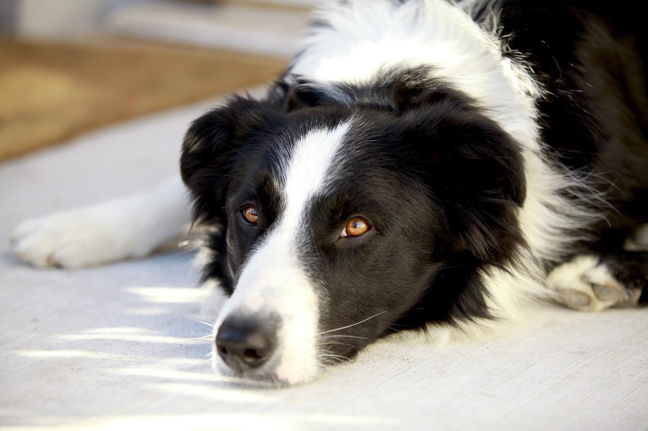 Enfermedades Cardíacas en mascotas