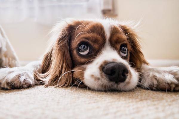 enfermedades cardiacas en mascotas 4