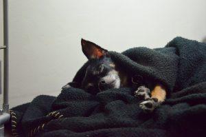 perro se mete bajo las sábanas