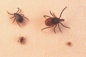 pulgas y garrapatas 1
