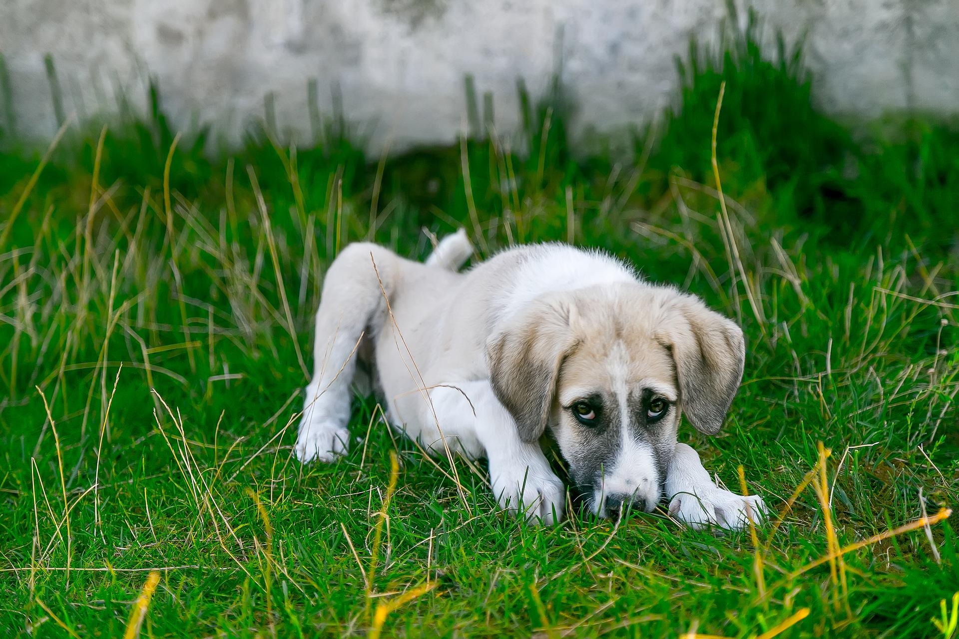 Problemas hepáticos en perros