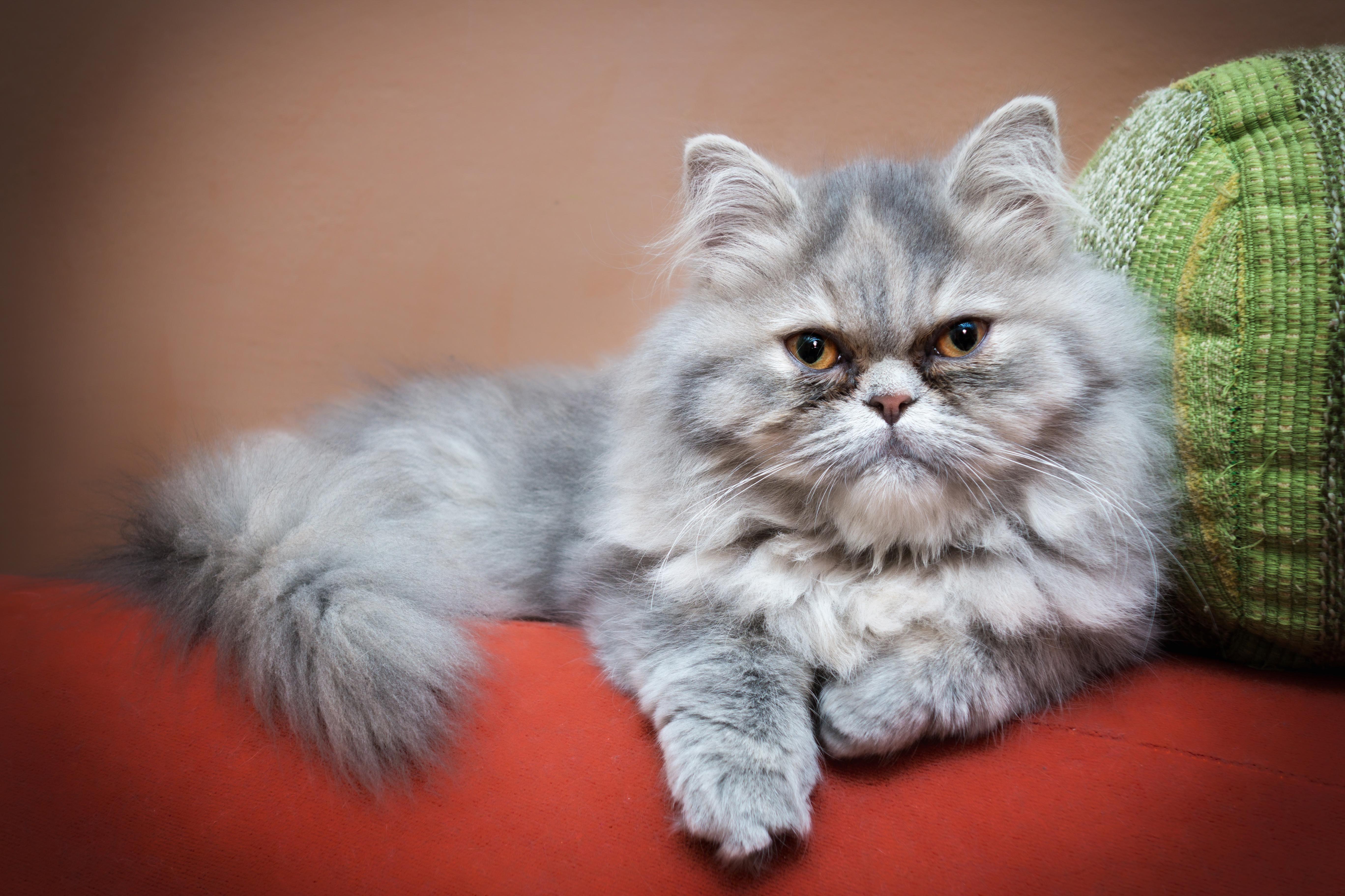 Bolas de pelo en mi gato y sus mitos y realidades