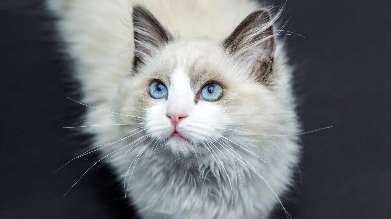 Bolas de pelo en gatos, mitos y realidades