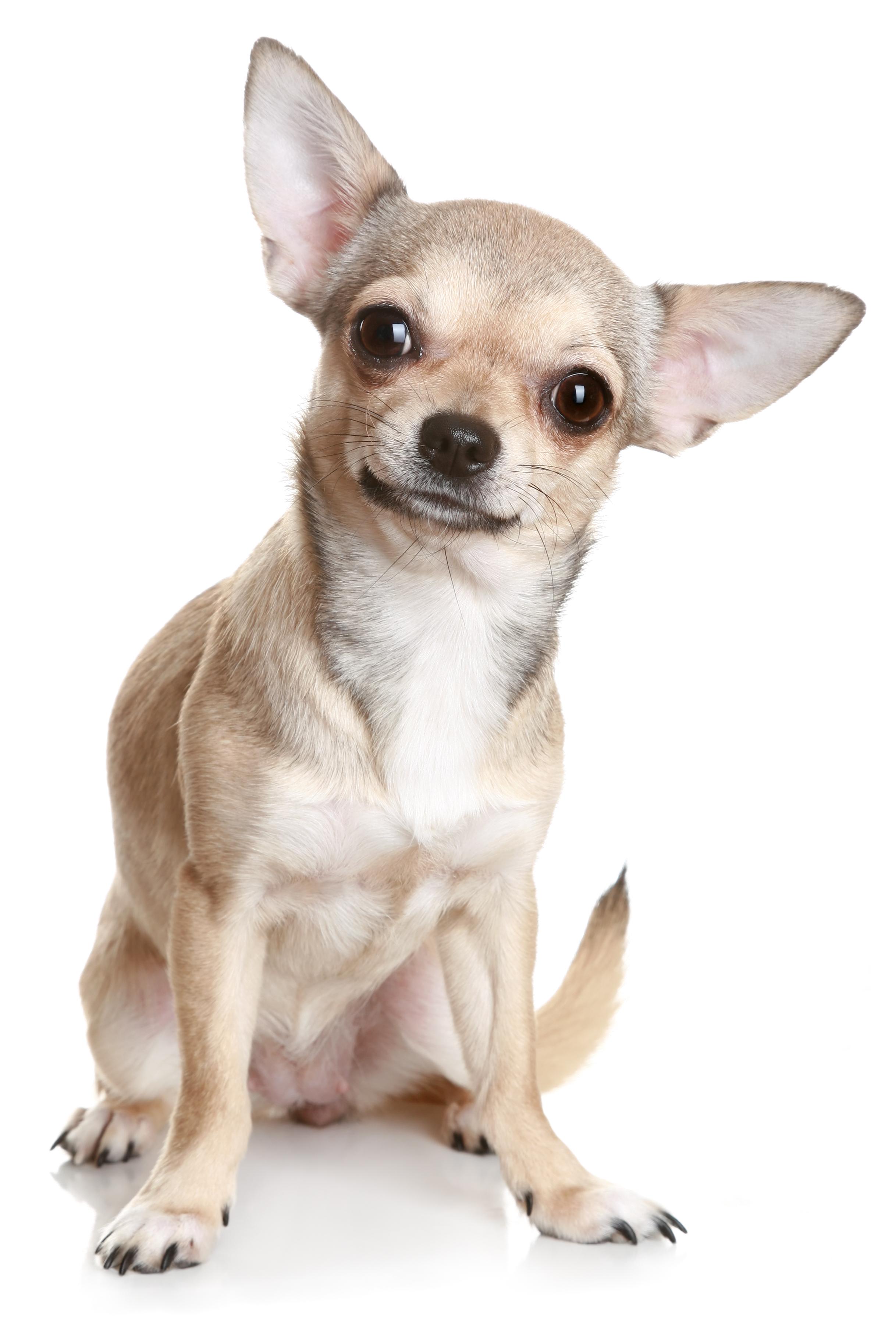 otitis en mi perro