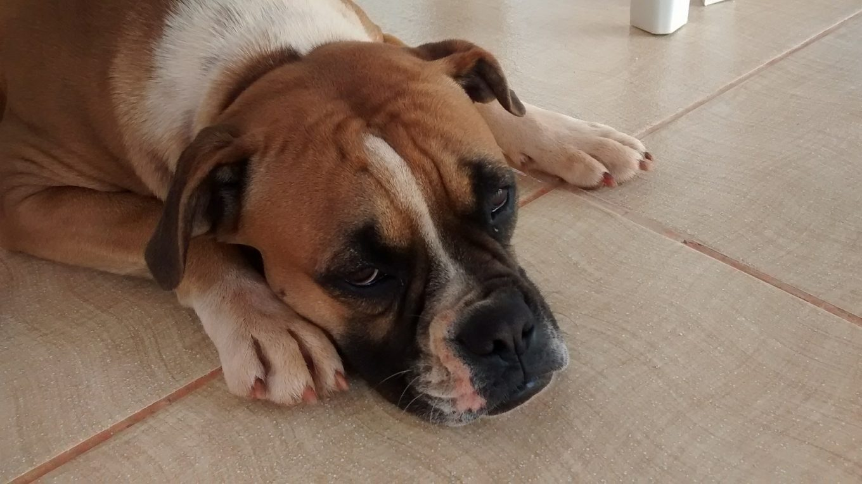 problemas hepáticos en nuestros perros