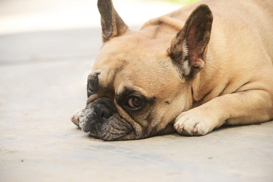 Cuidados de un Perro Anciano: Respuesta del Experto