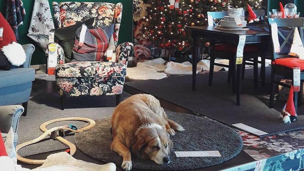 tienda de muebles abre las puertas a perros callejeros
