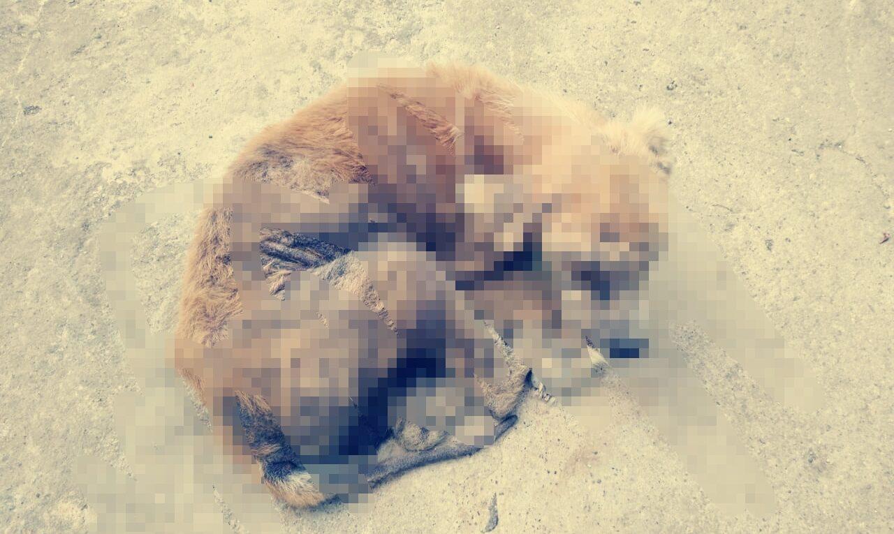 perritos con sarna recibirán ayuda de Nexgard pastilla masticable