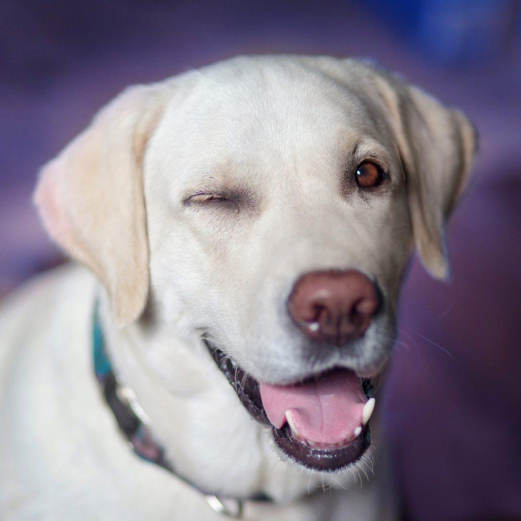 Labrador-Retriever