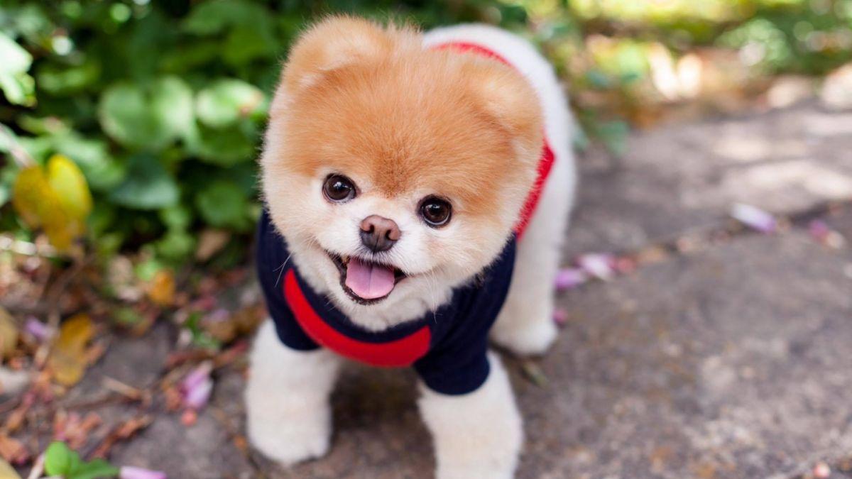muere boo el perro más feliz del mundo