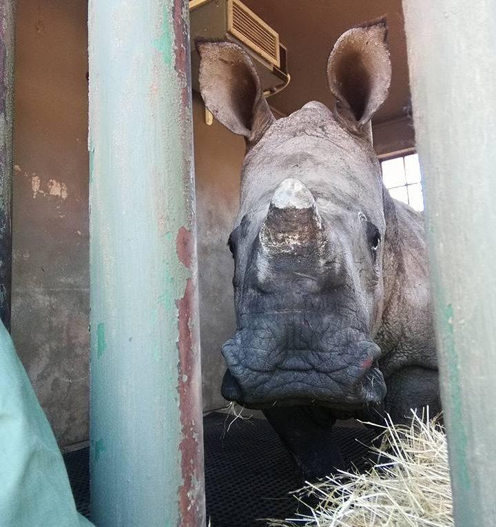 bebé rinoceronte llora la muerte de su mamá por cazadores
