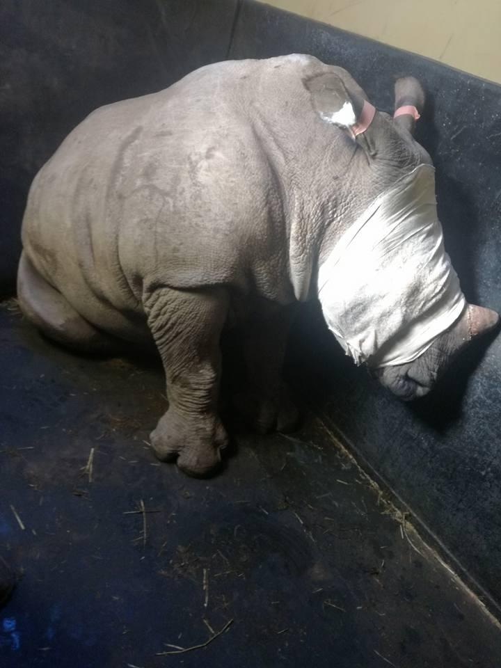 bebé rinoceronte llora la muerte de su mamá