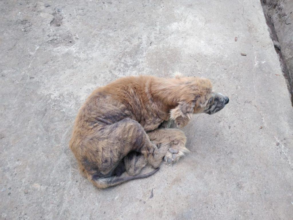 perro-con-sarna-recibirán-tratamiento-nexgard-1