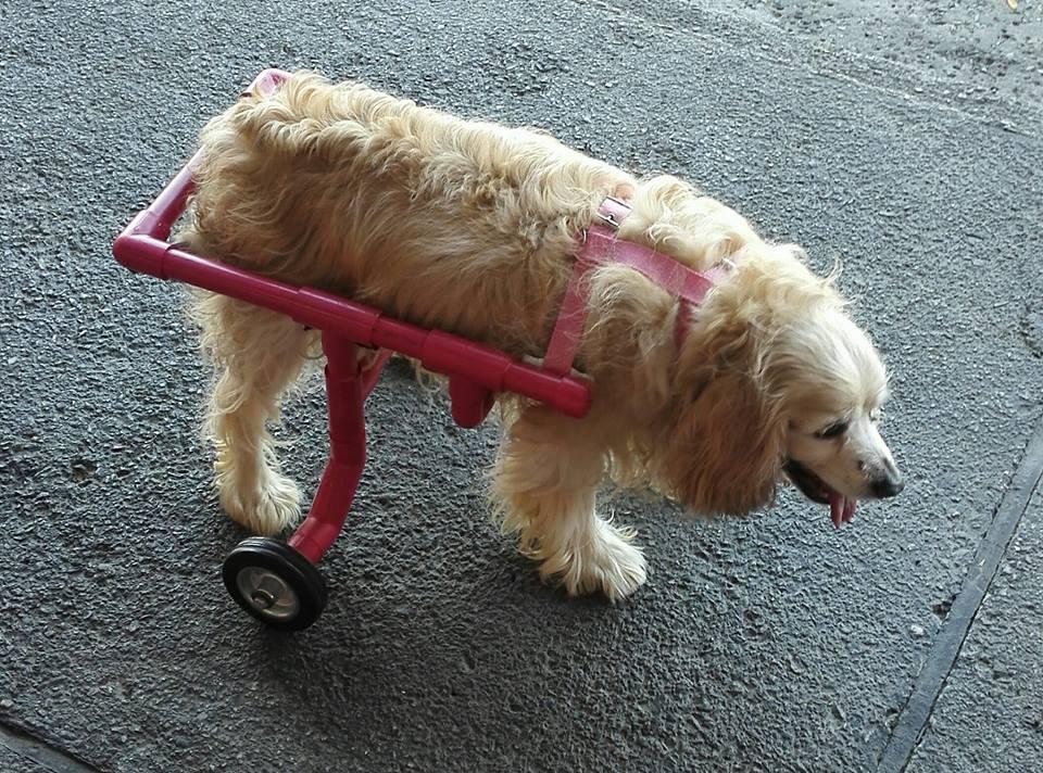 sillas de ruedas para mascotas en guatemala