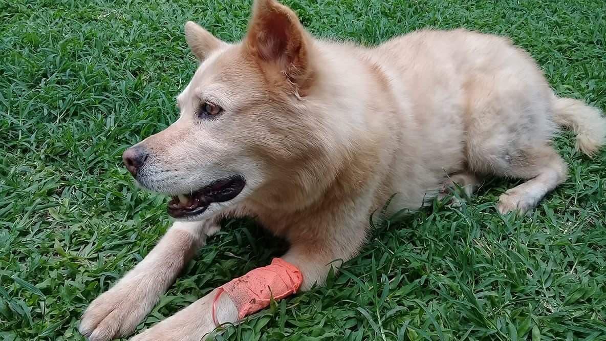 ¡Conoce a Lobo un perrito ciego y sordo, que se aferró a vida por una segunda oportunidad!
